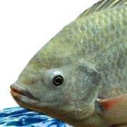 peixe-tilapia